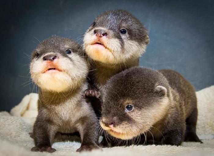 Baby otters are so small and fuzzy. They're sure to melt your heart.