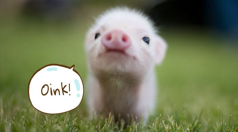 The cutest baby piglet