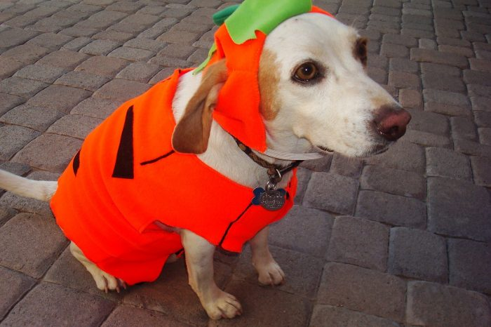 This dog's pumpkin costume is adorable and perfect for Halloween!